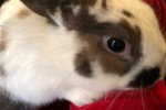 Une famille de lapins : le papa Polonais, la maman bélier et 6 lapereaux.